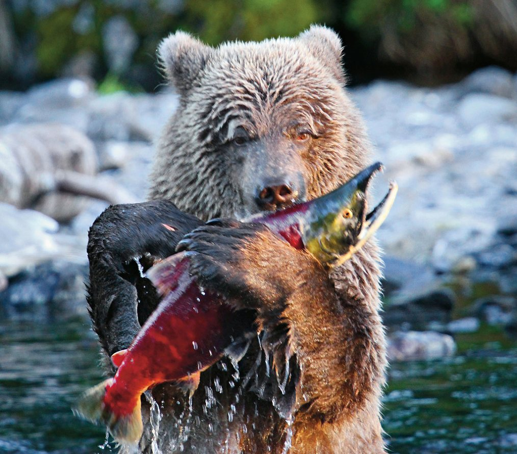 Top 5 places to watch bears catch salmon  Cheapflights